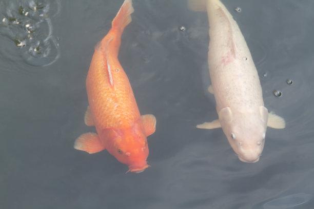 锦鲤,鲤鱼,林堡,星和园,运河,选择对焦,水,公园,水平画幅,高视角