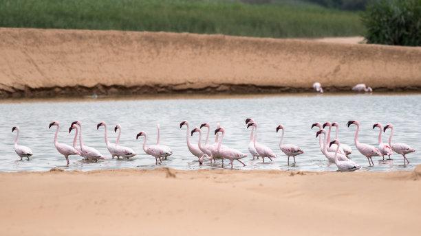 火烈鸟,水,美,水平画幅,无人,鸟类,野外动物,户外,湖,沙丘