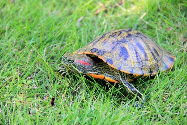 草,龜,綠色,水平畫幅,無人,爬蟲學,動物學,動物身體部位,戶外,特寫