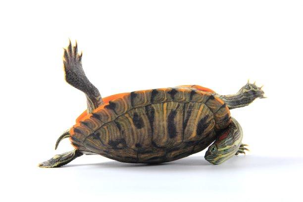 上下顛倒,龜,水平畫幅,無人,爬蟲學,動物學,動物身體部位,特寫,工作室,白色
