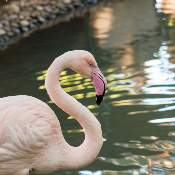 火烈鸟,粉色,水,水平画幅,无人,动物,鸟类,翎毛,动物主题,摄影