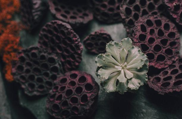 肉质植物,荷花,干的,褐色,水平画幅,无人,符号,特写,俄罗斯,木桩