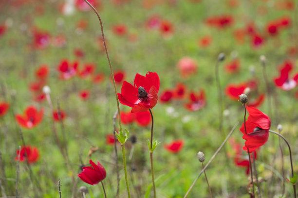 特写,田地,日光,色彩饱和,仅一朵花,花坛,天空,留白,水平画幅,无人