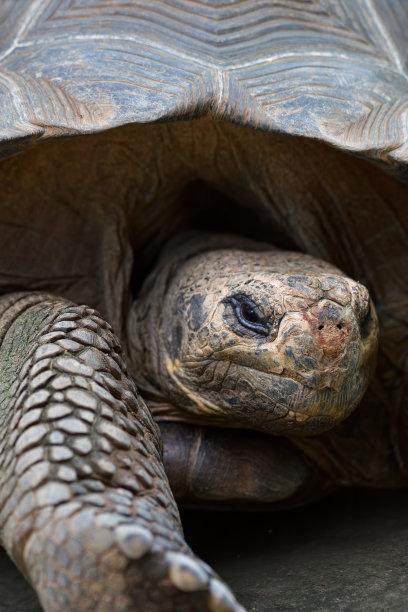 加拉帕戈斯陸龜,自然,垂直畫幅,正面視角,海龜,野生動物,旅游目的地,無人,動物身體部位,加拉帕戈斯群島