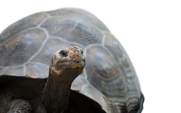 加拉帕戈斯陸龜,垂直畫幅,正面視角,留白,水平畫幅,無人,動物身體部位,加拉帕戈斯群島,野外動物,特寫
