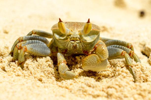 鬼蟹,塞舌尔,岛,褐色,水平画幅,沙子,动物身体部位,野外动物,眼柄,特写