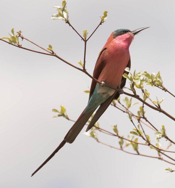 深红色食蜂鸟,自然,垂直画幅,野生动物,无人,鸟类,野外动物,食蜂鸟,自然美,纳米比亚