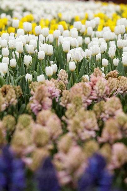 郁金香,园林,自然,色彩鲜艳,春天,垂直画幅,天空,留白,草原,无人
