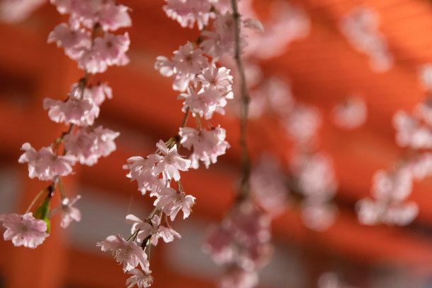 樱桃树,夜晚,京都市,星和园,京都府,樱花,雨,开端,新的,水平画幅
