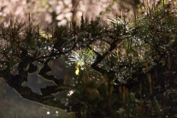 樱桃树,夜晚,京都市,星和园,京都府,松树,雨,散焦,新的,水平画幅