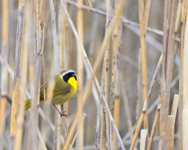 黄喉地莺,沼泽,美,留白,水平画幅,无人,鸟类,鸣鸟,动物习性,野外动物
