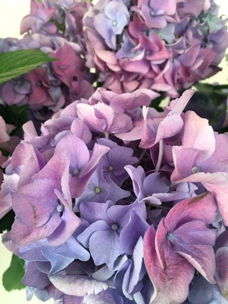 紫色,八仙花属,粉色,垂直画幅,美,无人,夏天,户外,特写,明亮