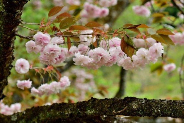 樱桃树,花瓣,对称,自然,美,公园,水平画幅,樱花,无人,日本
