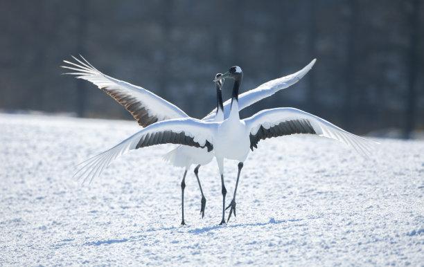 丹顶鹤,灰鹤,动物交配,北海道,两只动物,爪,鹤,寒冷,野生动物,雪