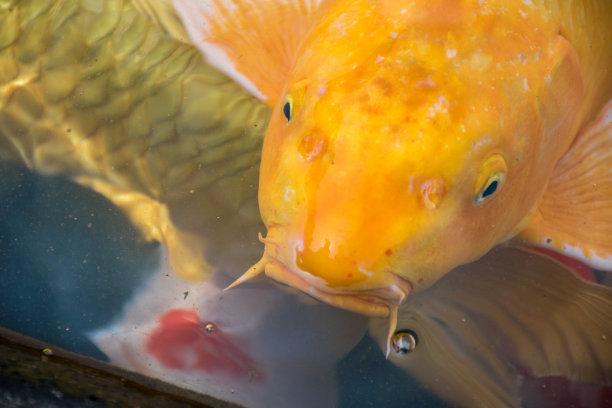 锦鲤,鲤鱼,鱼类,橙色,水面,冈山县,动物鳍,动物的鳞,星和园,湖