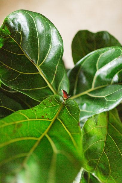 无花果树,叶子,小提琴,垂直画幅,晒黑,水,美,无人,泥土,组物体