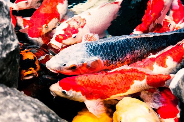 锦鲤,日本,传统,水景花园,鲤鱼,星和园,养鱼场,异国情调,饥饿的,池塘