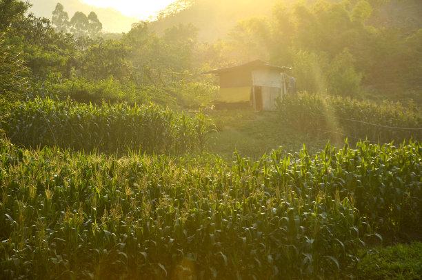中国,欧洲赤松,龙血树种植物,绿色,正面视角,留白,能源,早晨,夏天,草
