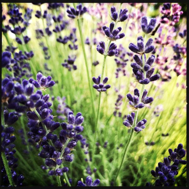 熏衣草,菜园,美,芳香的,无人,夏天,户外,特写,自然公园