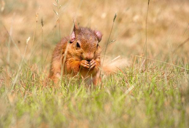 麻风病,普尔,圆颅党,岛,多尔斯特,西南英格兰,草,红松鼠,挨着,觅食