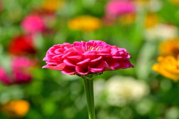 仅一朵花,鱼尾菊,水平画幅,无人,夏天,千叶县,特写,明亮,多色背景,彩色背景
