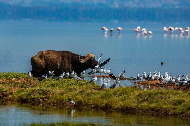 纳库鲁湖,海鸥,非洲,火烈鸟,水牛,灰发,水,水平画幅,注视镜头,无人