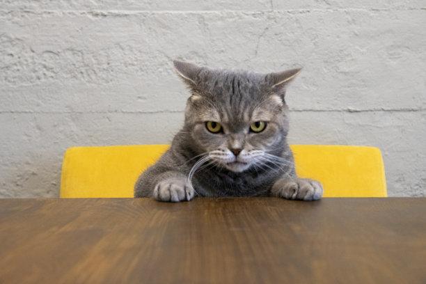 脾气暴躁的猫,桌子,留白,水平画幅,椅子,爪子,家庭生活,动物身体部位,户外,哺乳纲