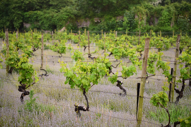 有蔓植物,葡萄酒厂,水平画幅,无人,湿,英格兰,户外,农作物,田地,葡萄园