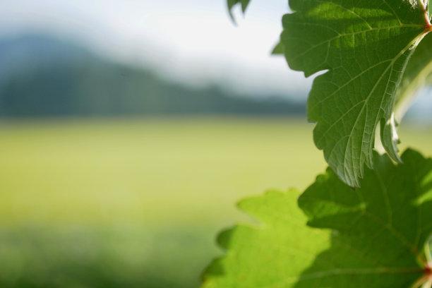 葡萄园,叶子,葡萄,葡萄酒厂,水平画幅,无人,夏天,户外,特写,前景聚焦