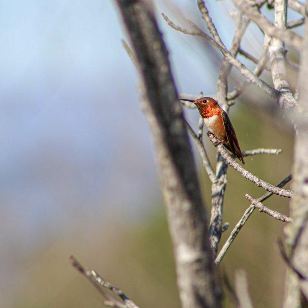 雄性植物蜂鸟图片