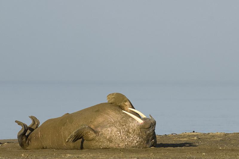 海象,斯瓦尔巴特群岛和扬马延岛,斯瓦尔巴德群岛,自然,哺乳纲,野生动物,水平画幅,无人,动物,北极