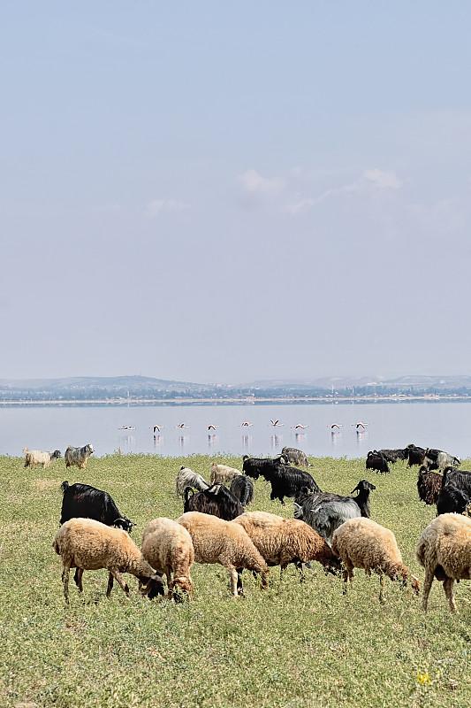 火烈鸟,兽群,绵羊,代尼兹利,垂直画幅,水,天空,留白,无人,野外动物