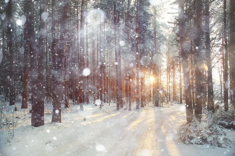 白昼,森林,日光,冬天,背景,松树,树林,常绿树,寒冷,风景