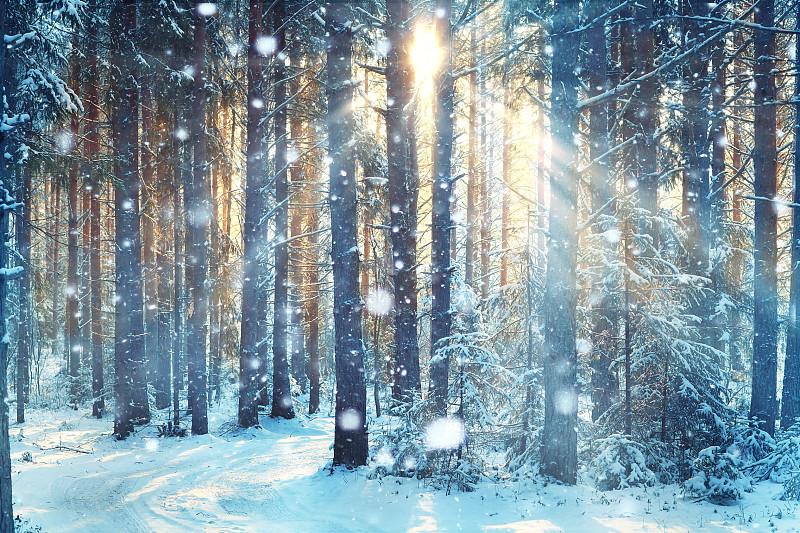 森林,雪,冬天,前景聚焦,非都市风光,加拿大,松树,护林员,背景幕,枝