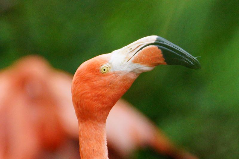 美洲火烈鸟,火烈鸟,野生动物,水平画幅,淡水鸟,无人,动物,鸟类,一只动物,摄影