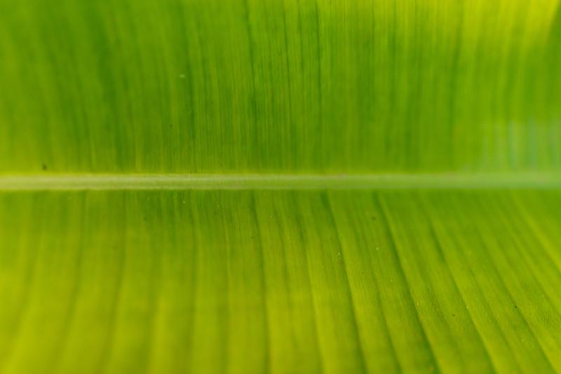 绿色,叶子,叶绿素,叶脉,自然,式样,水平画幅,无人,色彩鲜艳,有机食品