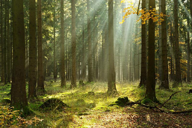 云杉,雾,森林,阳光光束,秋天,苔藓,林区,宁静,飘然,树林