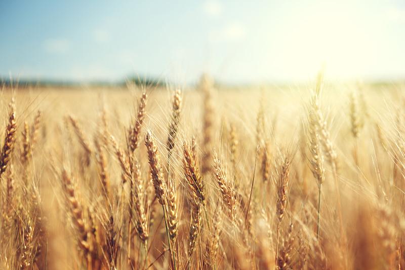 田地,金色,日光,小麦,白昼,天空,水平画幅,无人,夏天,户外