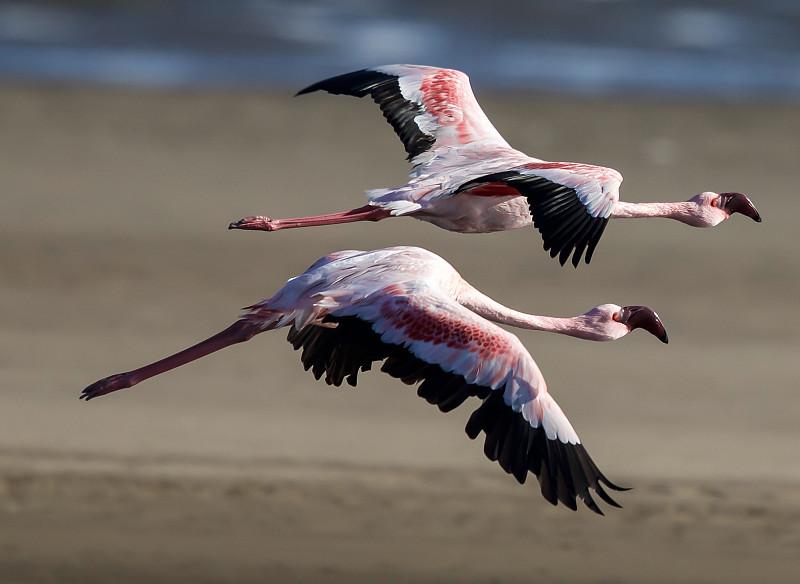 小火烈鸟,野生动物,水平画幅,火烈鸟,鸟类,自然美,水禽,摄影,飞