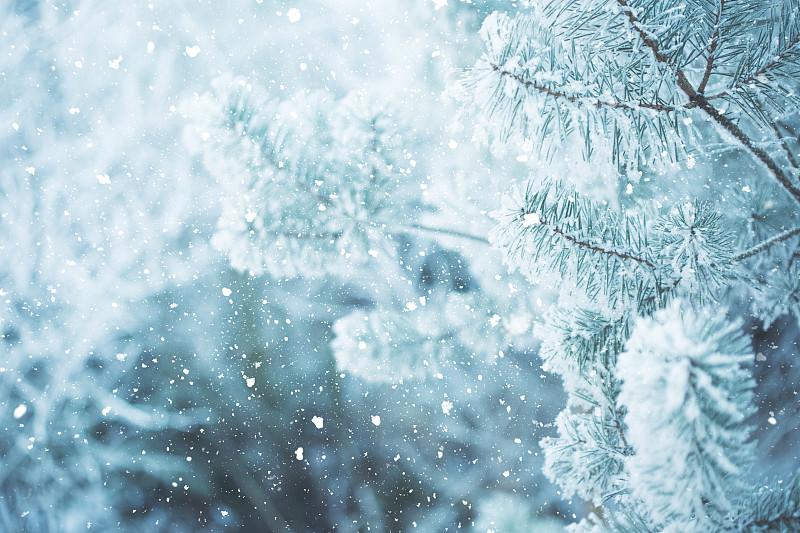 松木,霜,枝,树林,冬天,都市风光,非都市风光,杉树,大风雪,风景
