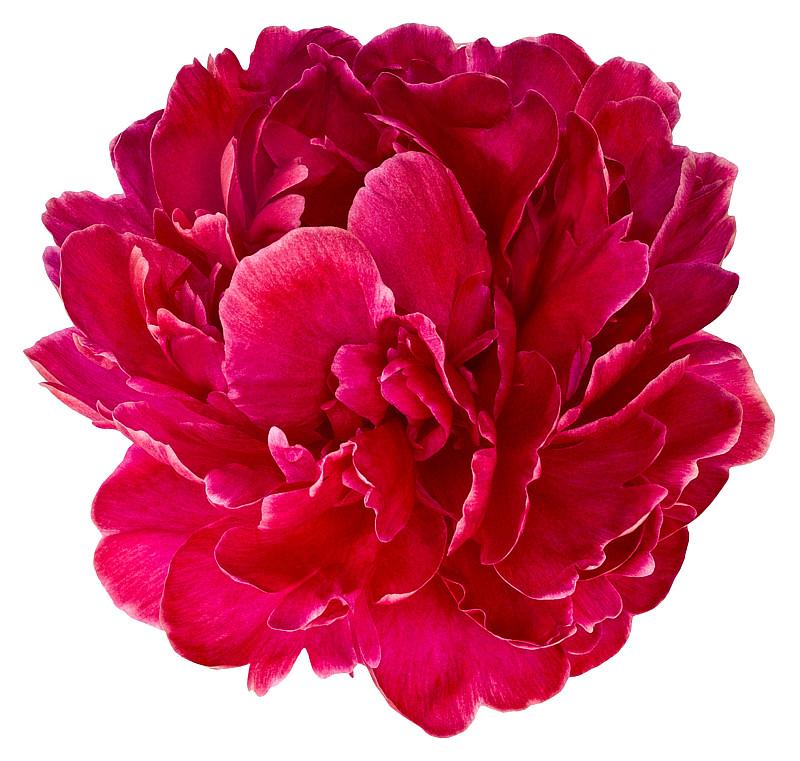 花蕾,牡丹,红色,两只动物,美,水平画幅,枝繁叶茂,动物身体部位,夏天,特写
