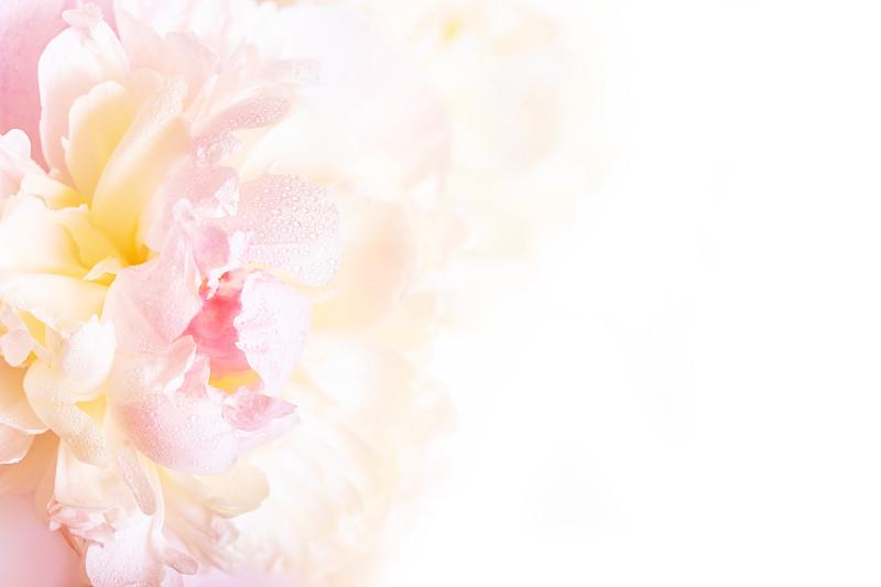 牡丹,花瓣,脆弱,背景,自然美,柔和,壁纸,柔和色,婚礼,花