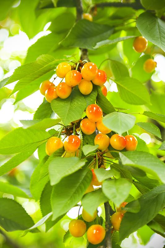 樱桃,特写,未成熟的,果树,垂直画幅,选择对焦,素食,无人,生食,夏天