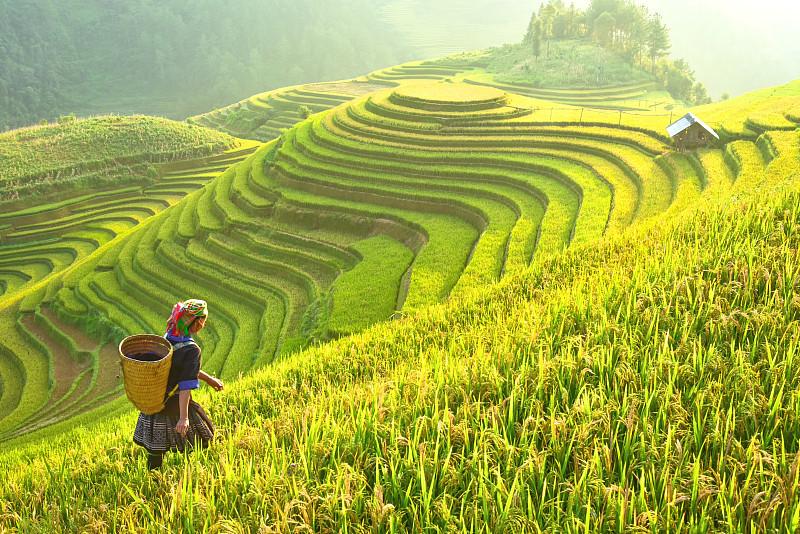 稻,越南,田地,拉茶,地形,mud,pot,梯田,农作物,西北,准备