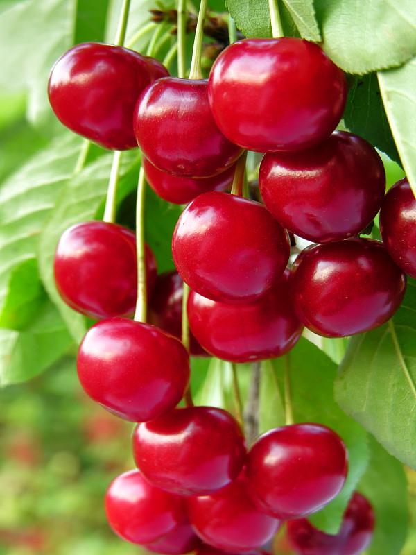 樱桃,特写,熟的,菜园,垂直画幅,枝繁叶茂,无人,组物体,户外,农作物