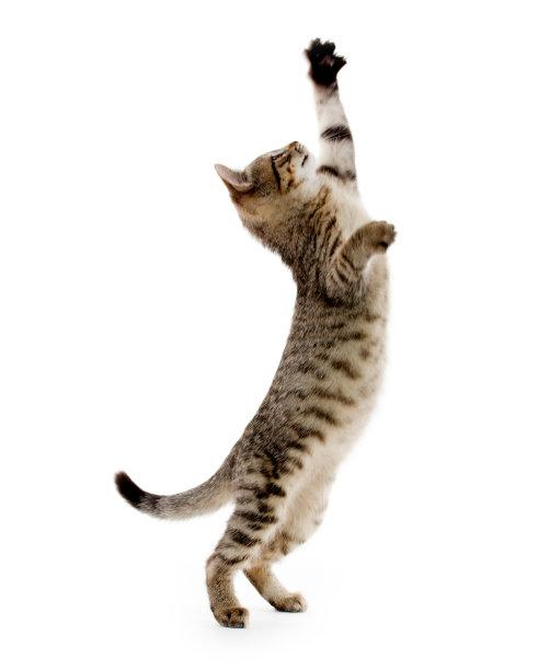 站立的狸花猫