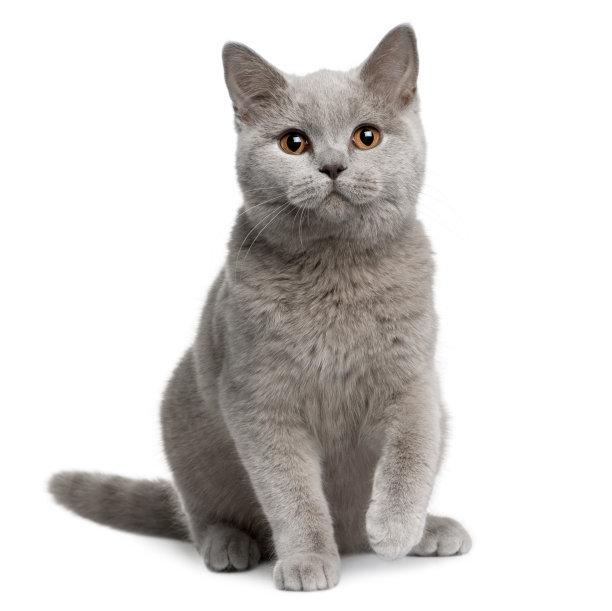 可爱小蓝猫