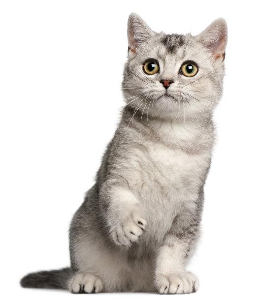 银渐层小猫咪
