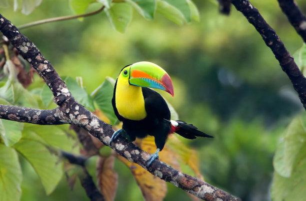 枝龙骨喙巨嘴鸟热带雨林