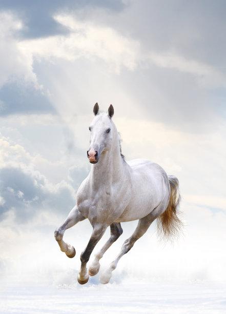 白色种马白马